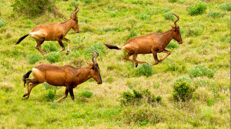 frolicking: three red hartebeest running though a vast patch of lush green grass on a hot day