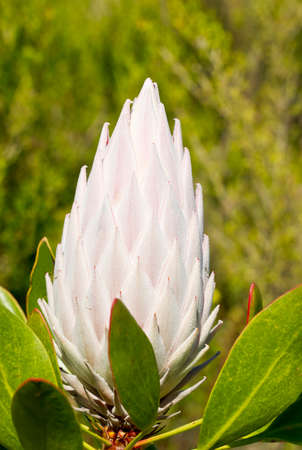 bracts large: King Protea with its head tightly closed in bright sunlight