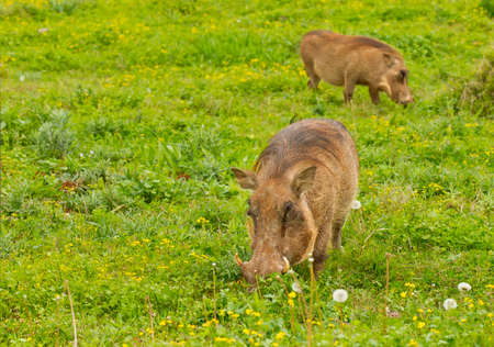 bush hog: large warthogs grazing in lush green flowering grass on a hot summers day