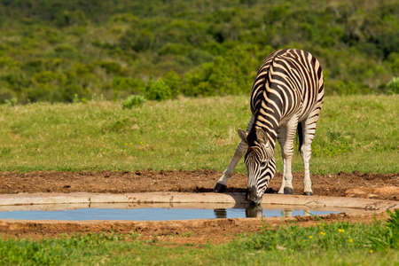 burchell: young zebra having a drink of refreshing water on a hot summers day