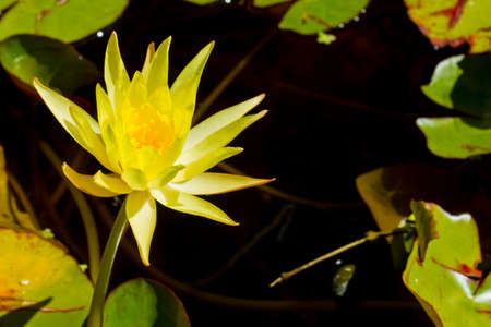 deep water: bright yellow flower of a water lilly in a dark pond Stock Photo