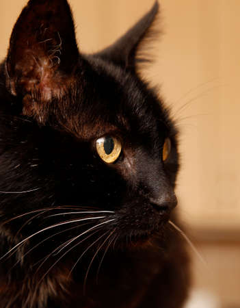 whiskers: beautiful black haired cat with grey whiskers sitting and starring