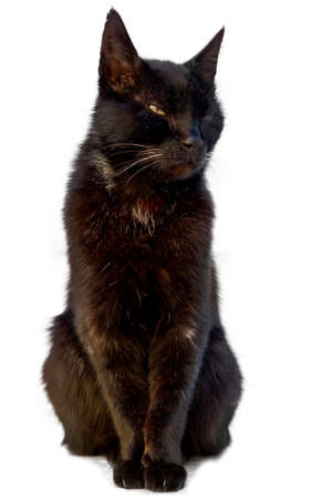 dangerous love: Beautiful black cat sitting and looking sleepy on a white background