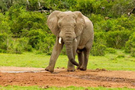 pozo de agua: elefante africano de pie y agitando su tronco en una charca