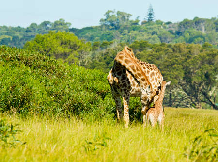 newly: Giraffe mother with newly born young standing next to thick bush