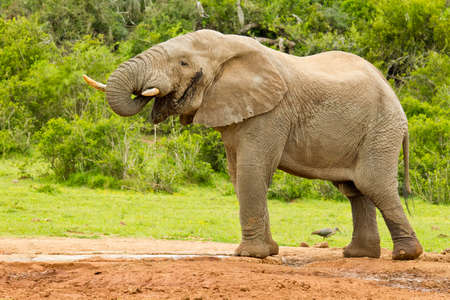 pozo de agua: Male elephant standing at a waterhole while having a drink
