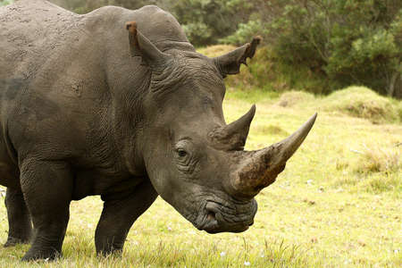 poach: large white Rhino and target showing a anti- poaching concept
