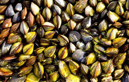 close together: wild black mussels growing close together on coastal rocks