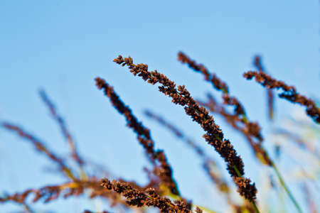 stalks: dark colored grass stalks blowing in the wind on a bright warm sunny day