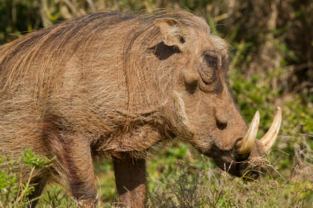 large warthog with large ivory tusks chewing green grass Stock Photo