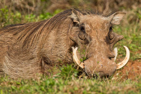 Large warthog lying in long grass with huge ivory tusks