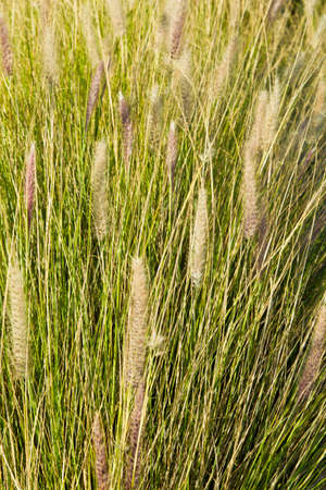 stalks: long stalks of grass blowing in the wind on a warm sunny day Stock Photo