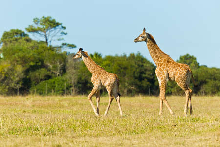 Giraffe pair walking in a savanna grassland in the afternoon sun