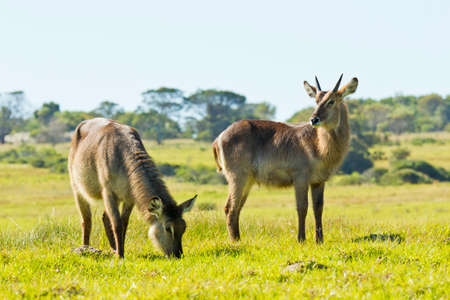 aware: Two Waterbuck standing in short green grass and eating while aware of their surroundings Stock Photo