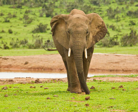 the water hole: single African elephant standing and eating from short grass next to a water hole in the hot sun