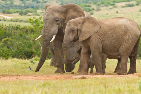 the water hole: Large African elephants standing together at a water hole