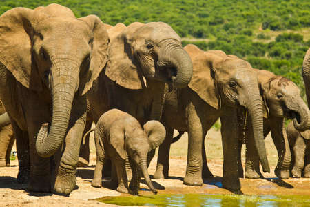 the water hole: Elephant heard standing at a water hole drinking together with a young one in front