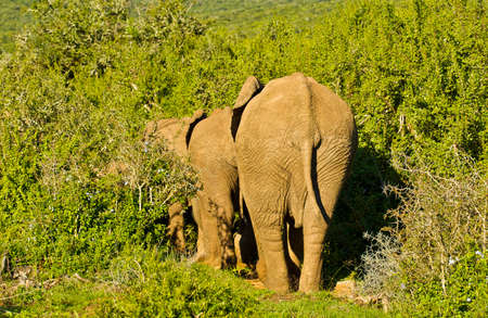 straight line: Large african elephants walking in a straight line into thick bush
