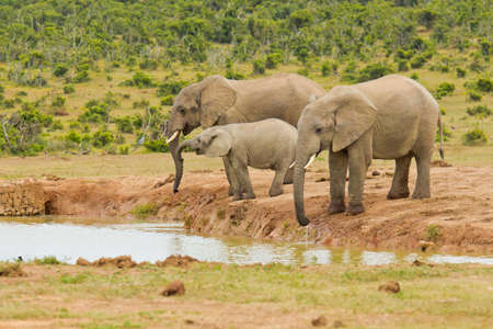 the water hole: three elephants standing and drinking water at a water hole Stock Photo