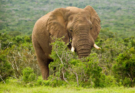 thorn bush: huge male African elephant standing and eating from a thorn bush