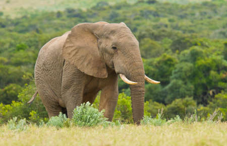 the water hole: Large lonely elephant walking through long grass towards a water hole