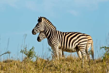 Two zebras standing and basking in the early morning sunlight in short dry grass