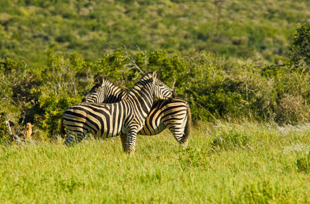 Zebras standing in long green grass resting their heads on on the backs of each other Stock Photo
