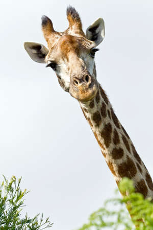 Inquisitive giraffe looking over some bushes at the camera on a warm day Stock Photo