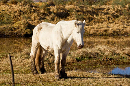 chew over: Beautiful white stallion standing still next to a small pond or lake
