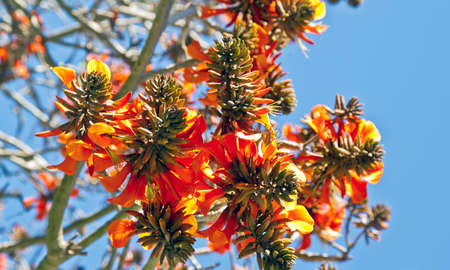 coral bark: a bunch of coral tree flowers in early spring with a blue sky background