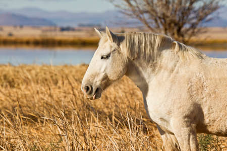 caballo bebe: retrato de un semental blanco que se coloca en la hierba seca en el sol de la ma�ana