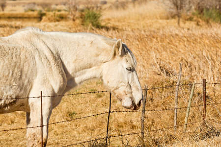 chew over: White stallion standing and chewing grass next to a wire fence