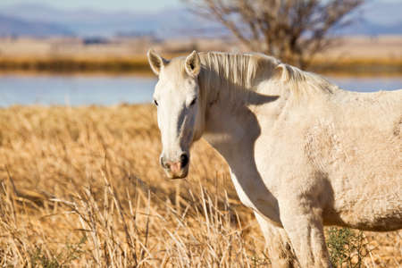 chew over: Beautiful white stallion looking left over a wire fence Stock Photo