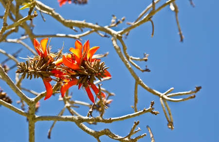 coral bark: Beautiful coral tree flowers in early spring against a blue sky