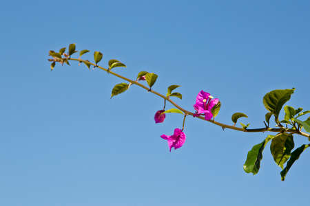 new purple flowers on a bougainvillea stem in early spring against a blue sky background