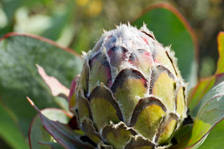 Opening of a King Protea plant with closed leaves in bright sunlight