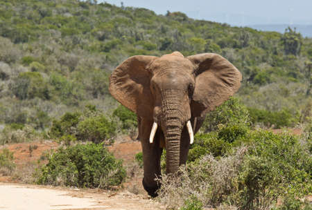 pachyderm: Large African elephant walking out of thick bush onto a gravel road