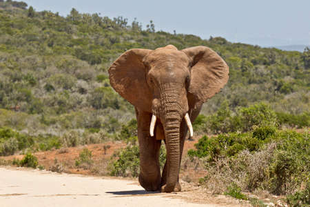Large African elephant walking slowly along a dirt road in the hot blazing sun