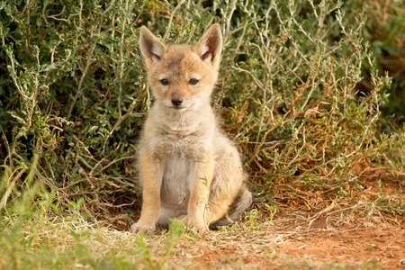 elusive: Young black backed Jackal sitting on its own looking alert after a long sleep