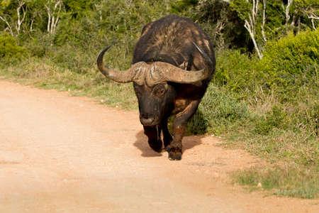 Young  buffalo walking along a dusty gravel road in the hot sun