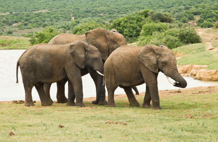 Small family of elephants standing at a water hole on a hot summers day Stock Photo