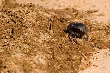 Dung beetle burrowing into some dry old elephant dung on a hot summers day Stock Photo