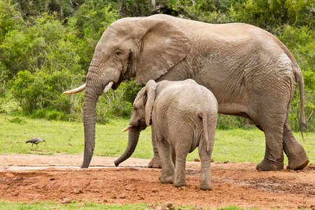 Large African male elephant standing at a water hole with its young