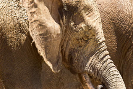 Large African elephant covered in mud standing in the hot summer sun Stock Photo