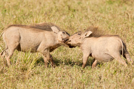 two young warthogs playing and pushing each other in dry grass