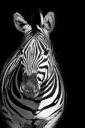 beautiful Zebra portrait in black and white on a black background