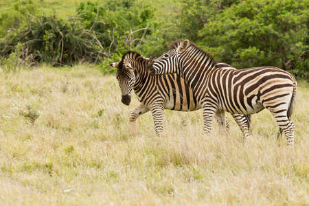 Zebras playing in a field of long grass with one biting the other on the neck Stock Photo
