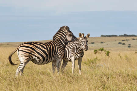 two zebras in a field of long grass with one resting its head on the others back Stock Photo