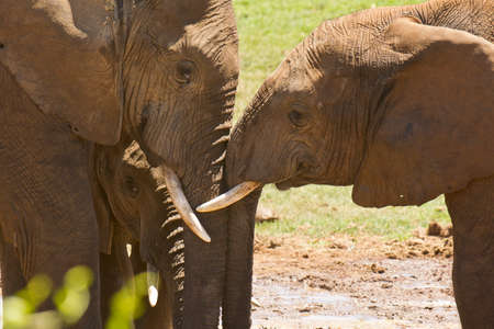 Two African elephants standing close together rubbing their heads together showing some affection