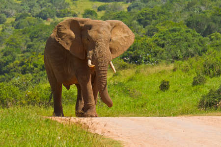 African male elephant walking down a road in bright sunshine Stock Photo